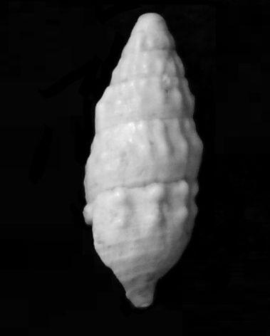 Cerithiidae - † Cerithium vulgatum miocaenicum (Vignal, 1910) - Burdigalien Cervulmio12