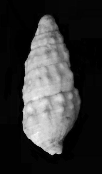Cerithiidae - † Cerithium vulgatum miocaenicum (Vignal, 1910) - Burdigalien Cervulmio_0