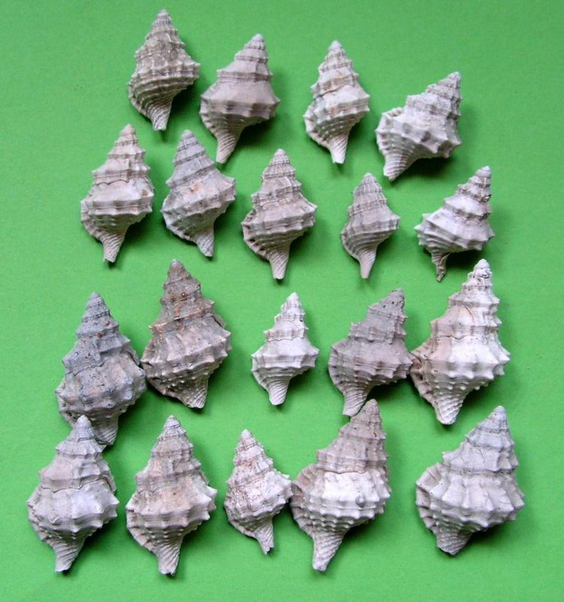 Cymatiidae - † Charonia appenninica (Sassi, 1827) - Plaisancien (Pliocène sup.) Charappe11