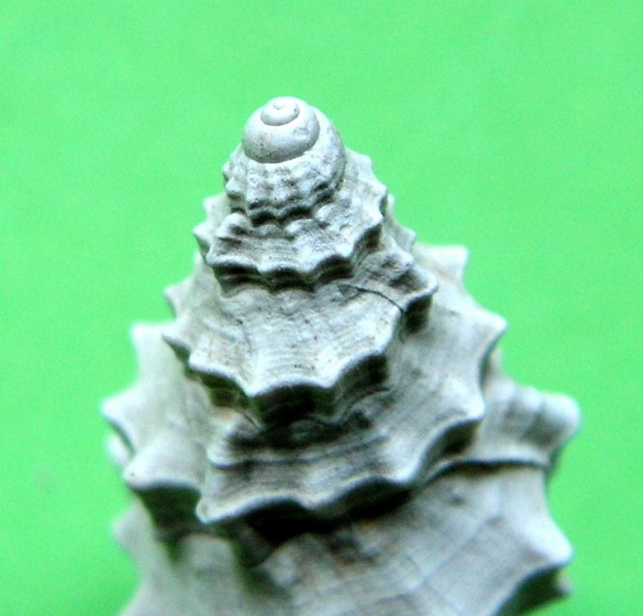 Cymatiidae - † Charonia appenninica (Sassi, 1827) - Plaisancien (Pliocène sup.) Charappe_0