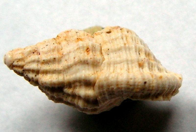 Cymatiidae - † Charonia tritoneum (Grateloup, 1840) - Burdigalien Chartrit10
