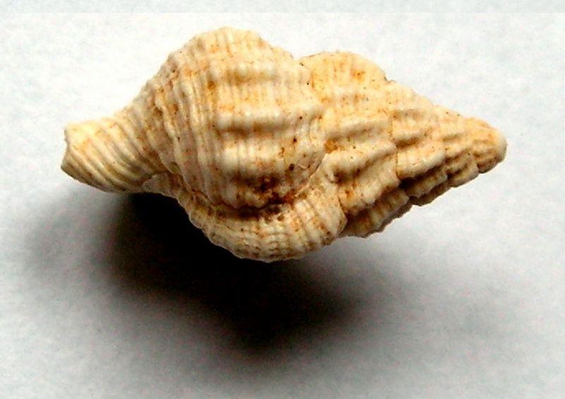 Cymatiidae - † Charonia tritoneum (Grateloup, 1840) - Burdigalien Chartrit12