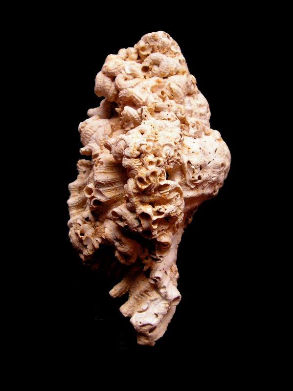 Chicoreus - †  (Triplex) foliosus (Bellardi, 1872) Chicfoli11