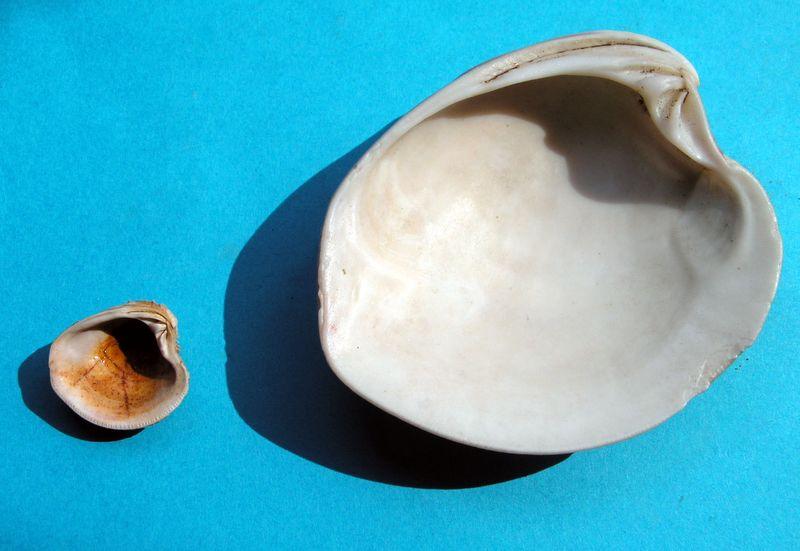 Circomphalus foliaceolamellosus - (Dillwyn, 1817)  Chiocirc11