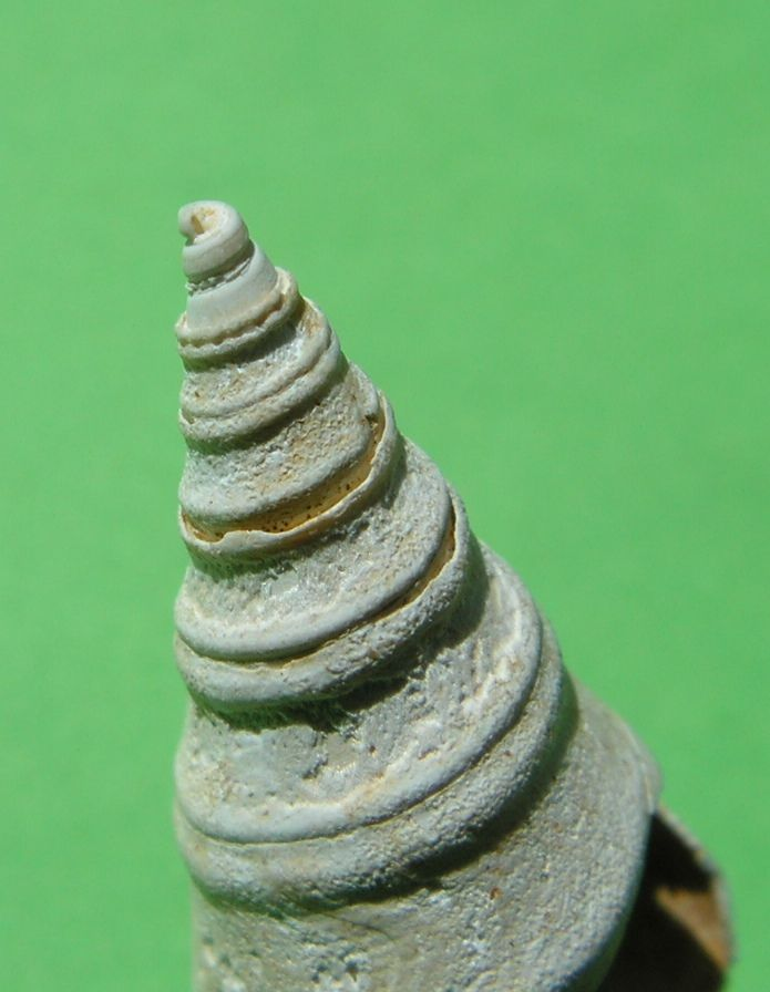 Fasciolariidae - † Clavatula (Perrona) carinifera, Grateloup 1832 var. burdigalensis - Aquitaine Clavcariburd_0