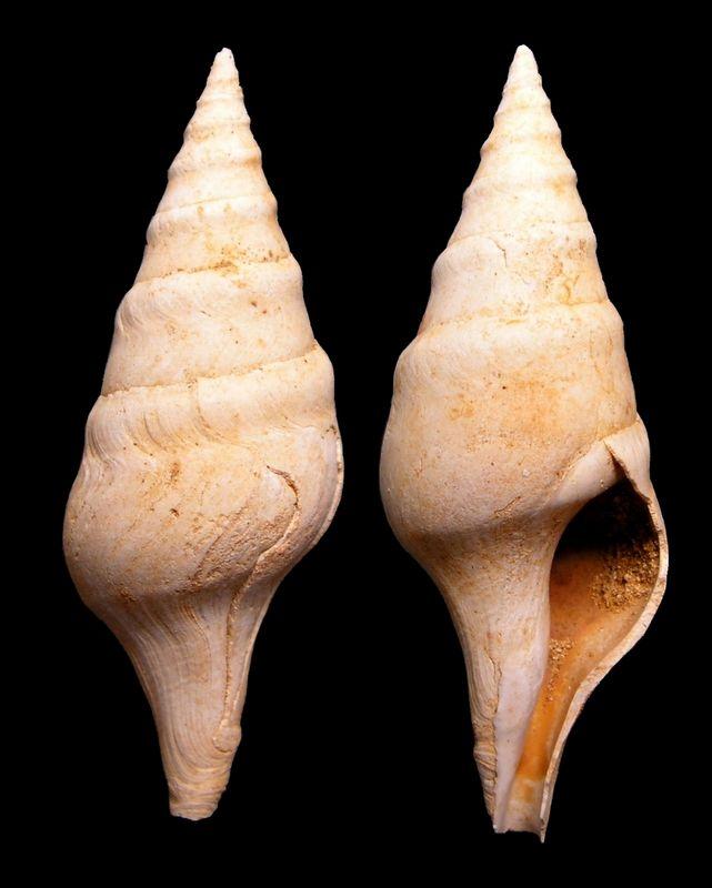 Fasciolariidae - † Clavatula (Perrona) carinifera, Grateloup 1832 - Burdigalien de Gironde Clavcari13