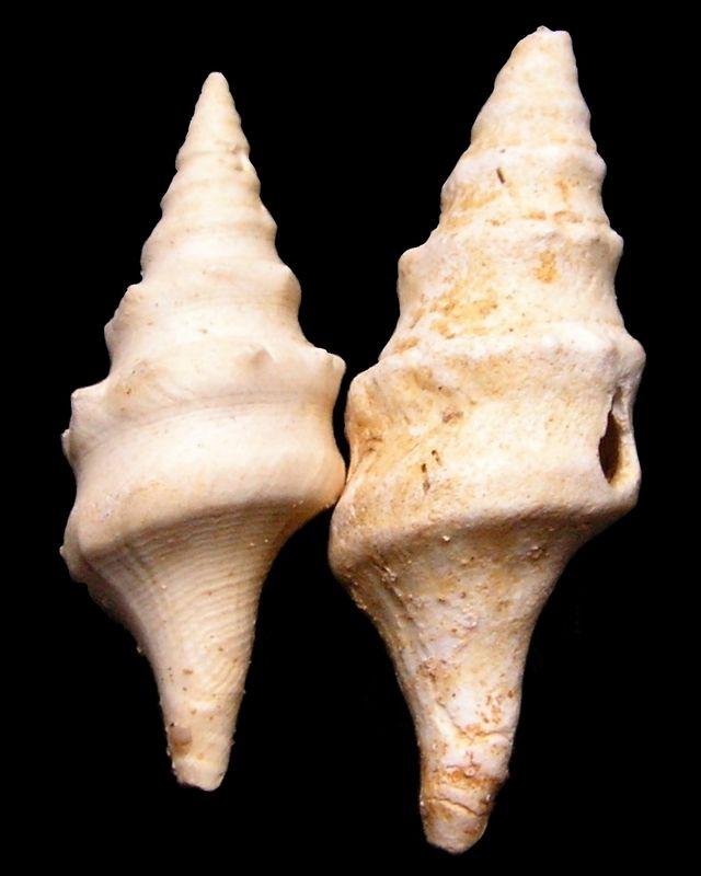 Fasciolariidae - † Clavatula spinosa (Grateloup, 1832) - Burdigalien Clavspin11