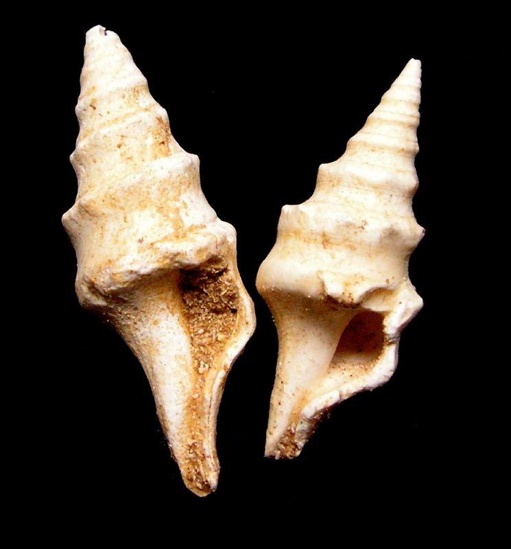 Fasciolariidae - † Clavatula spinosa (Grateloup, 1832) - Burdigalien Clavspin12