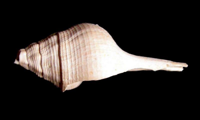 Fasciolariidae - † Clavilithes (Cosmolithes) dameriacensis, Deshayes 1866 - (Bassin Parisien) Clavdame10