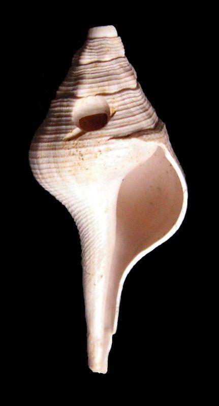 Fasciolariidae - † Clavilithes (Cosmolithes) dameriacensis, Deshayes 1866 - (Bassin Parisien) Clavdame13