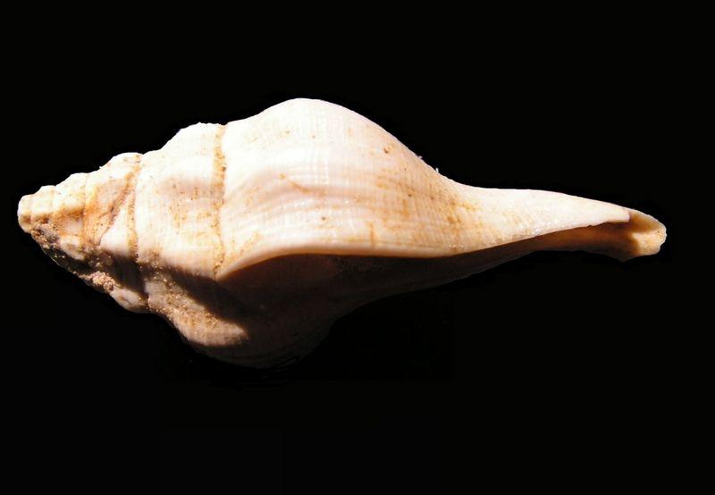 Fasciolariidae - † Clavilithes (Cosmolithes) laevigatus (Gmelin, 1791) - (Bassin Parisien) Clavlaev10