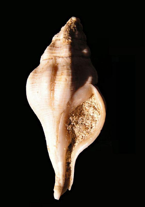 Fasciolariidae - † Clavilithes (Cosmolithes) laevigatus (Gmelin, 1791) - (Bassin Parisien) Clavlaev12
