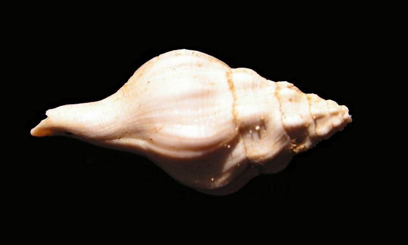 Fasciolariidae - † Clavilithes (Cosmolithes) laevigatus (Gmelin, 1791) - (Bassin Parisien) Clavlaev_0