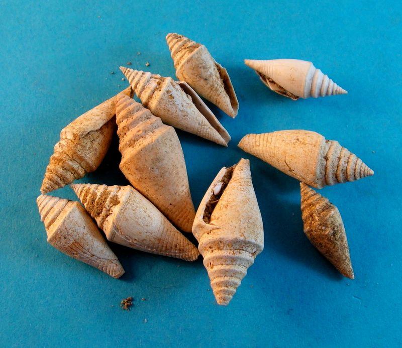 Conidae - † Conus (Conospira) sallomacensis (Peyrot, 1931) C_sallome10