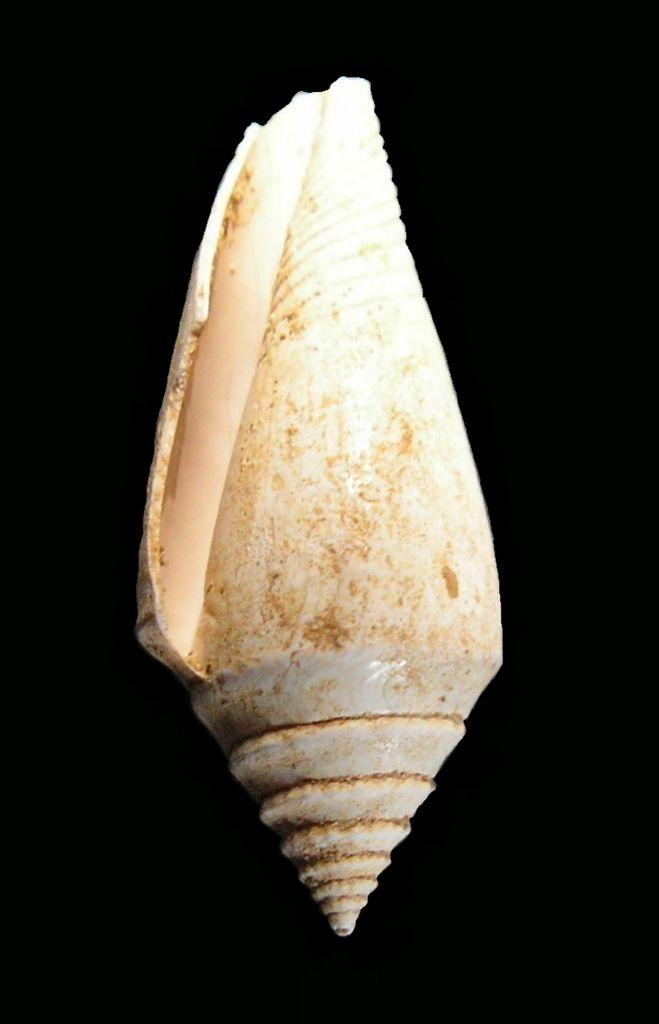 Conidae - † Conus dujardini (Deshayes, 1845) - Burdigalien C_dujar35