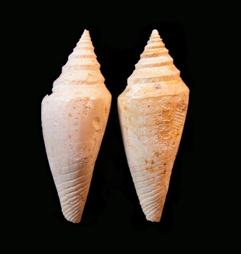 Conidae - † Conus dujardini (Deshayes, 1845) - Burdigalien C_dujar_0