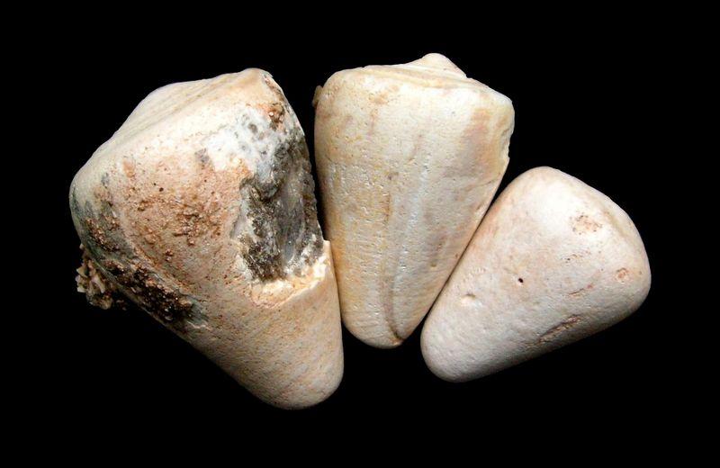 Conidae - † Conus maculosus (Grateloup, 1835) - (Sallespisse Sud-Ouest) C_maculo10