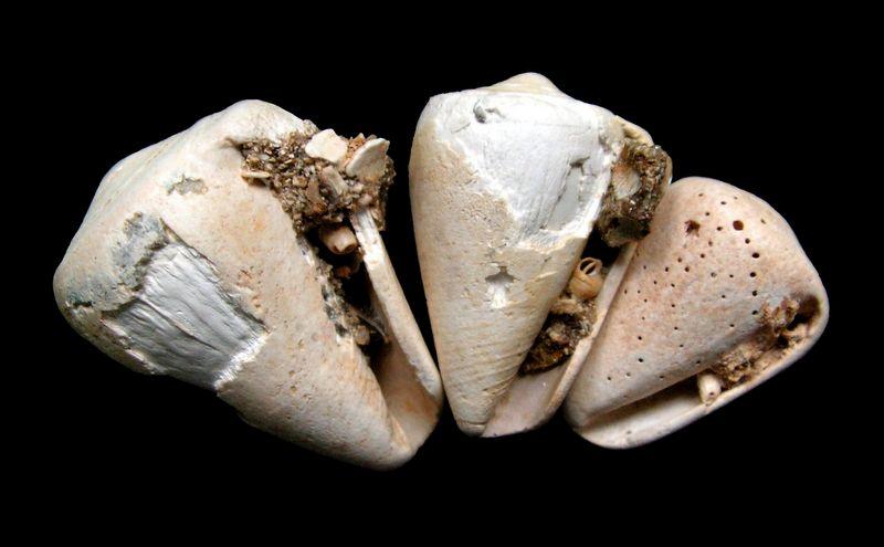Conidae - † Conus maculosus (Grateloup, 1835) - (Sallespisse Sud-Ouest) C_maculo11