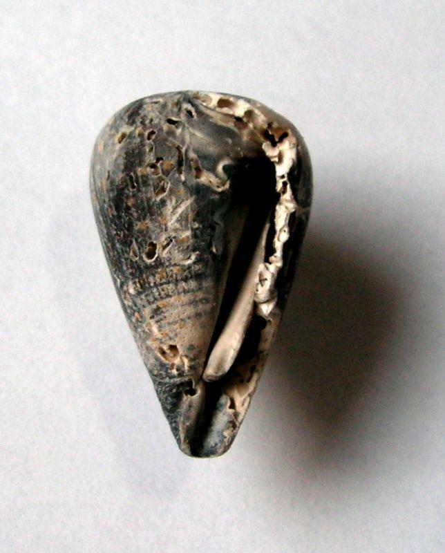 Conidae - † Conus maculosus (Grateloup, 1835) - (Sallespisse Sud-Ouest) C_macul23