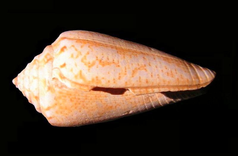 Conidae - † Conus cf mediterraneus - Aquitanien (?) C_meditt10