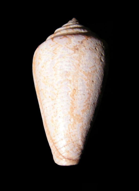 Conidae - † Conus cf mediterraneus - Aquitanien (?) C_meditt11