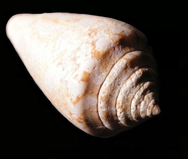 Conidae - † Conus cf mediterraneus - Aquitanien (?) C_meditt14
