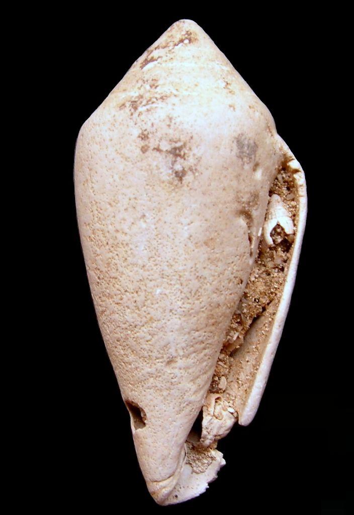 Conidae - † Conus subalsionus (A d'Orbigny, 1852) - Aquitaine C_subalsio13