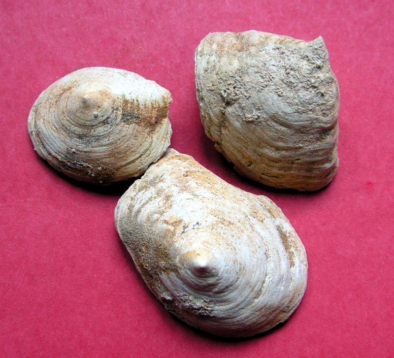 Calyptraeidae - † Bicatillus deformis (Lamarck, 1822) Crucdefo10