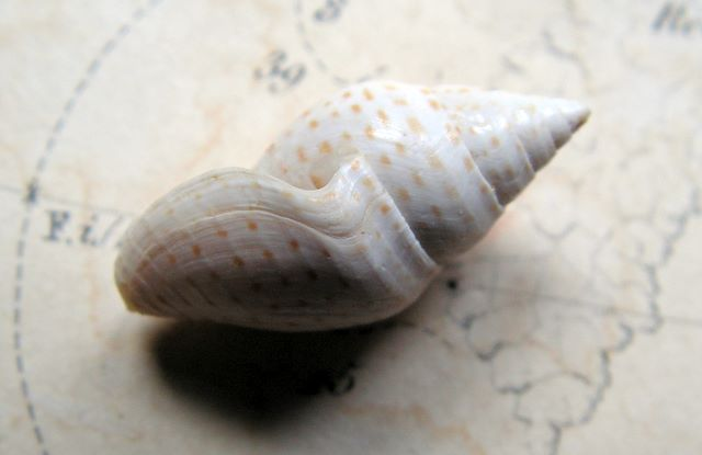 Cryptoconus - † Cryptoconus lineolatus (Lamarck, 1804) - (Bassin Parisien) Cryptoconus_lineolatus3