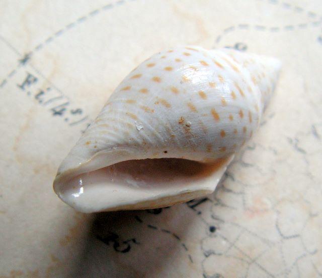 Cryptoconus - † Cryptoconus lineolatus (Lamarck, 1804) - (Bassin Parisien) Cryptoconus_lineolatus_0