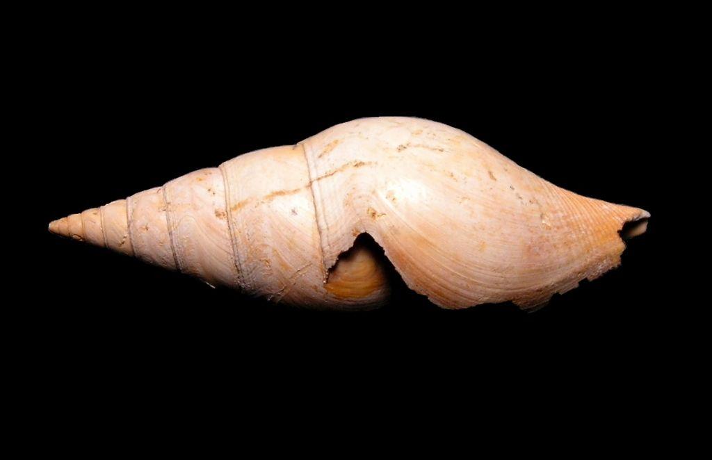 Cryptoconus - † Cryptoconus priscus (Solander in Brander, 1766) - Lutétien (Bassin Parisien) Cryprisc10