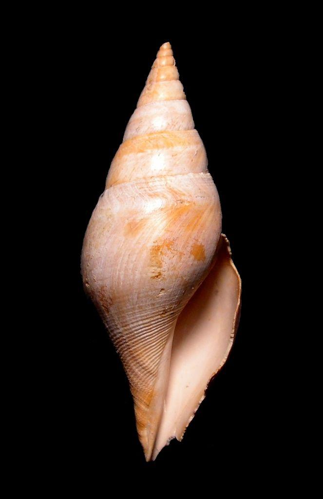 Cryptoconus - † Cryptoconus priscus (Solander in Brander, 1766) - Lutétien (Bassin Parisien) Cryprisc12