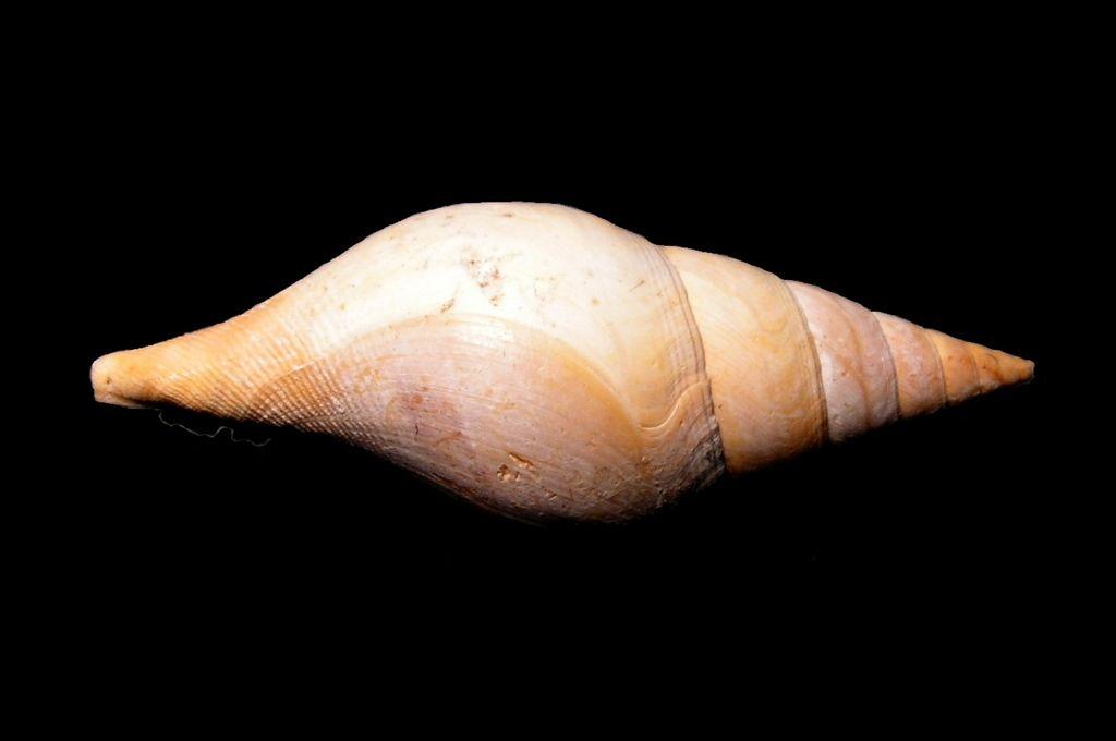 Cryptoconus - † Cryptoconus priscus (Solander in Brander, 1766) - Lutétien (Bassin Parisien) Cryprisc_0