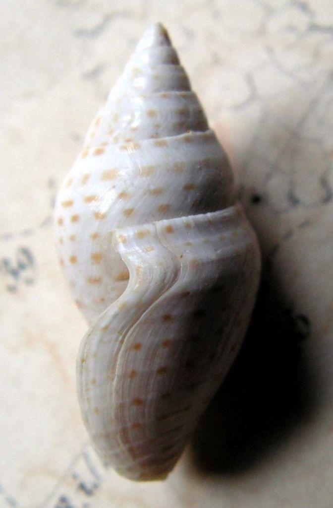 Cryptoconus - † Cryptoconus punctatus (Brebion in Tucker & le Renard, 1992) - (Bassin Parisien) Cryptoconus_punctatus3