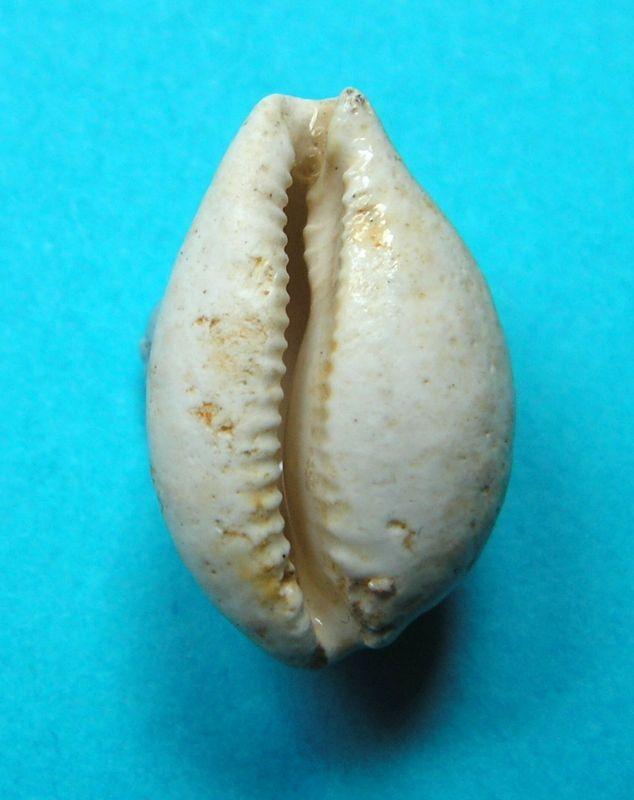 Cypraeidae - † Cypraea Brocchii (15/17) - var. Expensa (20/21) - Aquitanien / Burdigalien (Rég. Mont de Marsan 40) Cyprrena13