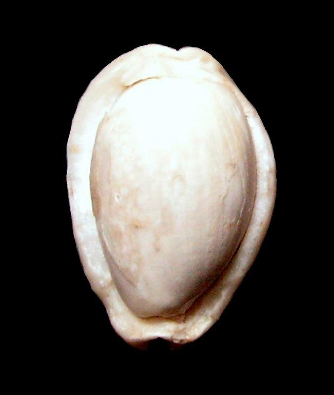Cypraeidae - † Erosaria nebrites f. labrospina, Lorenz, 1992 - (Hurghada - Égypte) Cyprnebr13