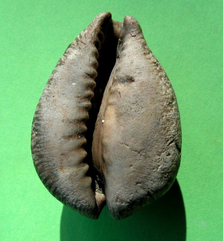 Cypraeidae - † Barycypraea ovata ovata (Martin, 1879) - Miocène (Ile de Java - Indonésie) Cyprovat13