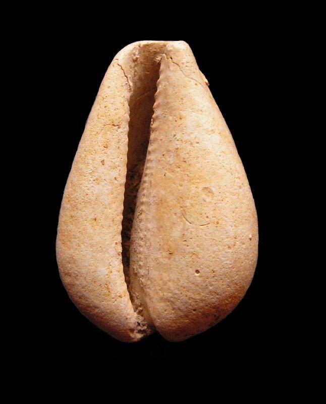 Cypraeidae - † Cypraea polysarca (Cossmann, 1903) - Aquitanien de Gironde Cyppolys12