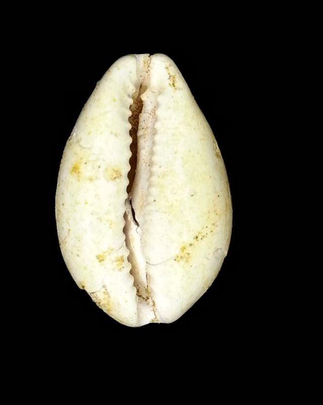 Cypraeidae - † Cypraea subambigua (d'Orbigny, 1852) - Burdigalien Cyprsuba11