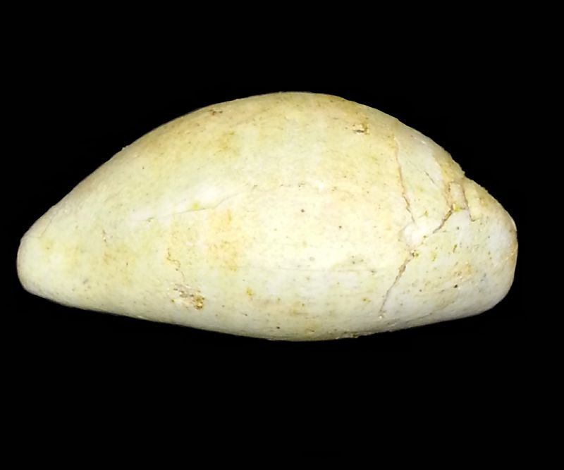 Cypraeidae - † Cypraea subambigua (d'Orbigny, 1852) - Burdigalien Cyprsuba14