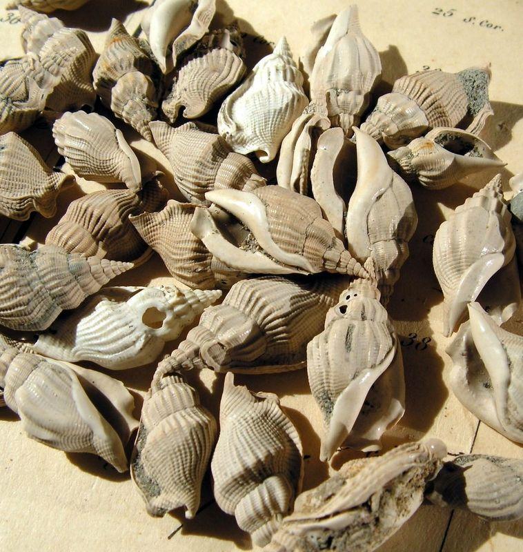 Strombidae - † Dientomochilus decussatus (Basterot, 1825) - Miocène Aquitanien Diendecu10