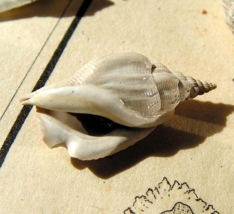 Strombidae - † Dientomochilus decussatus (Basterot, 1825) - Miocène Aquitanien Diendecu15