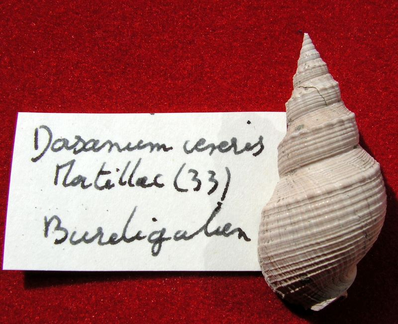 Nassariidae - † Dorsanum veneris (Faujas, 1817) - Burdigalien (Martillac) Dorsvene12