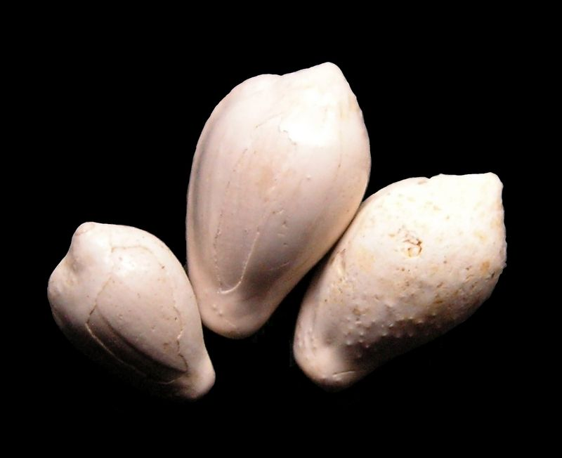 Triviidae -  † Erato transiens (Boettger, 1884) - Burdigalien (St Martin d'Oney 40) Eratran13