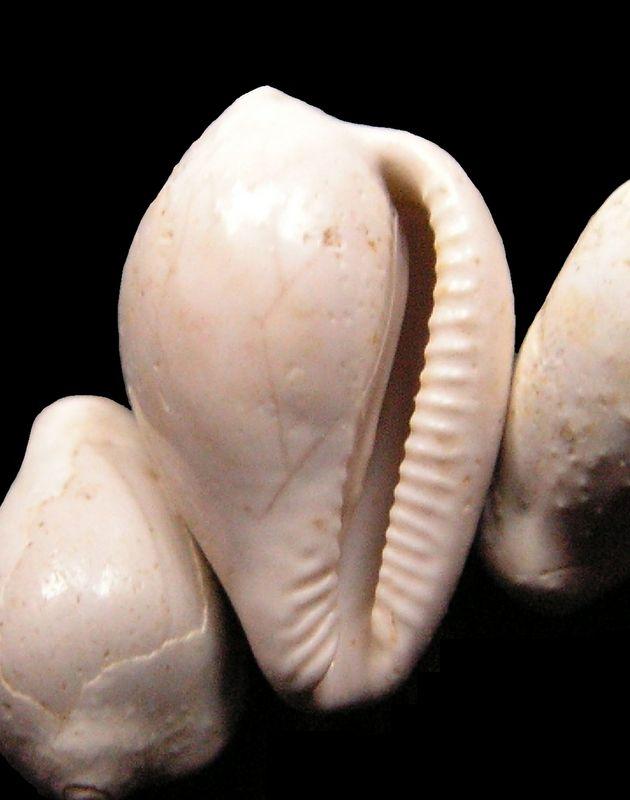 Triviidae -  † Erato transiens (Boettger, 1884) - Burdigalien (St Martin d'Oney 40) Eratran14