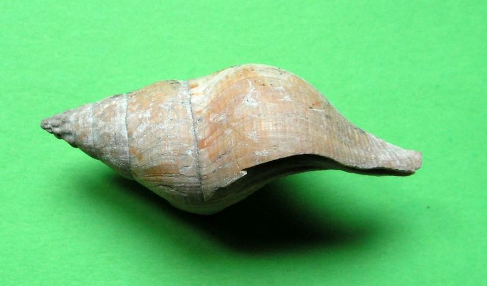 Buccinidae - † Euthria cornea (Linné, 1758) - Plaisancien Italien/Niçois Euthcorn10