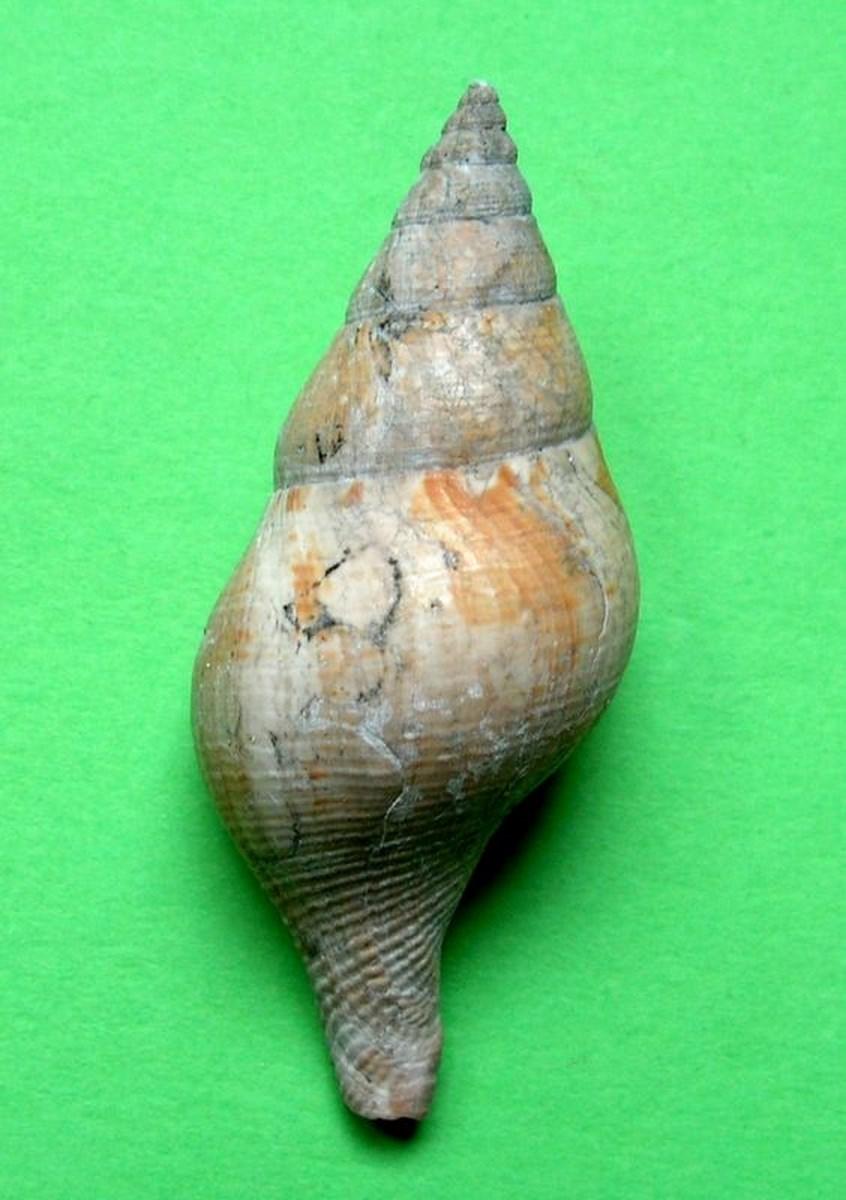 Buccinidae - † Euthria cornea (Linné, 1758) - Plaisancien Italien/Niçois Euthcorn12