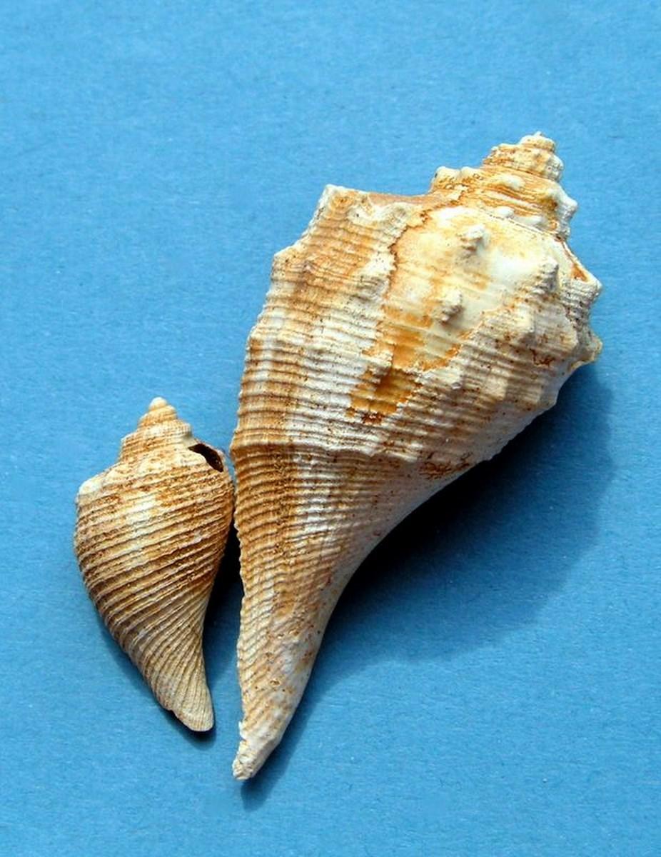 Ficidae - † Ficus (Pyrula) burdigalensis (Sowerby, 1824) - Burdigalien sup. Ficburspi10