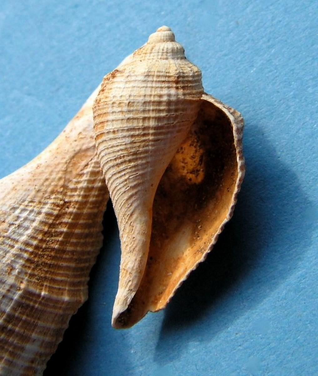 Ficidae - † Ficus (Pyrula) burdigalensis (Sowerby, 1824) - Burdigalien sup. Ficburspi11