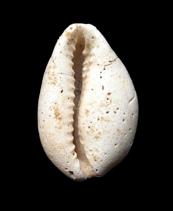 Cypraeidae - † Fossacypraea cf eburnina (Grateloup, 1847) - Burdigalien (Merignac ?) C_fossebur12